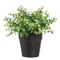 Eucalyptus dans pot - 20 cm