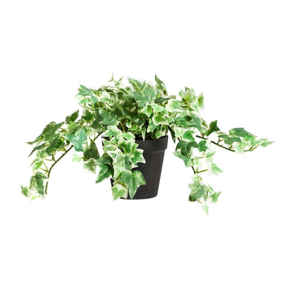 klimop in pot groen wit 20 cm. Black Bedroom Furniture Sets. Home Design Ideas