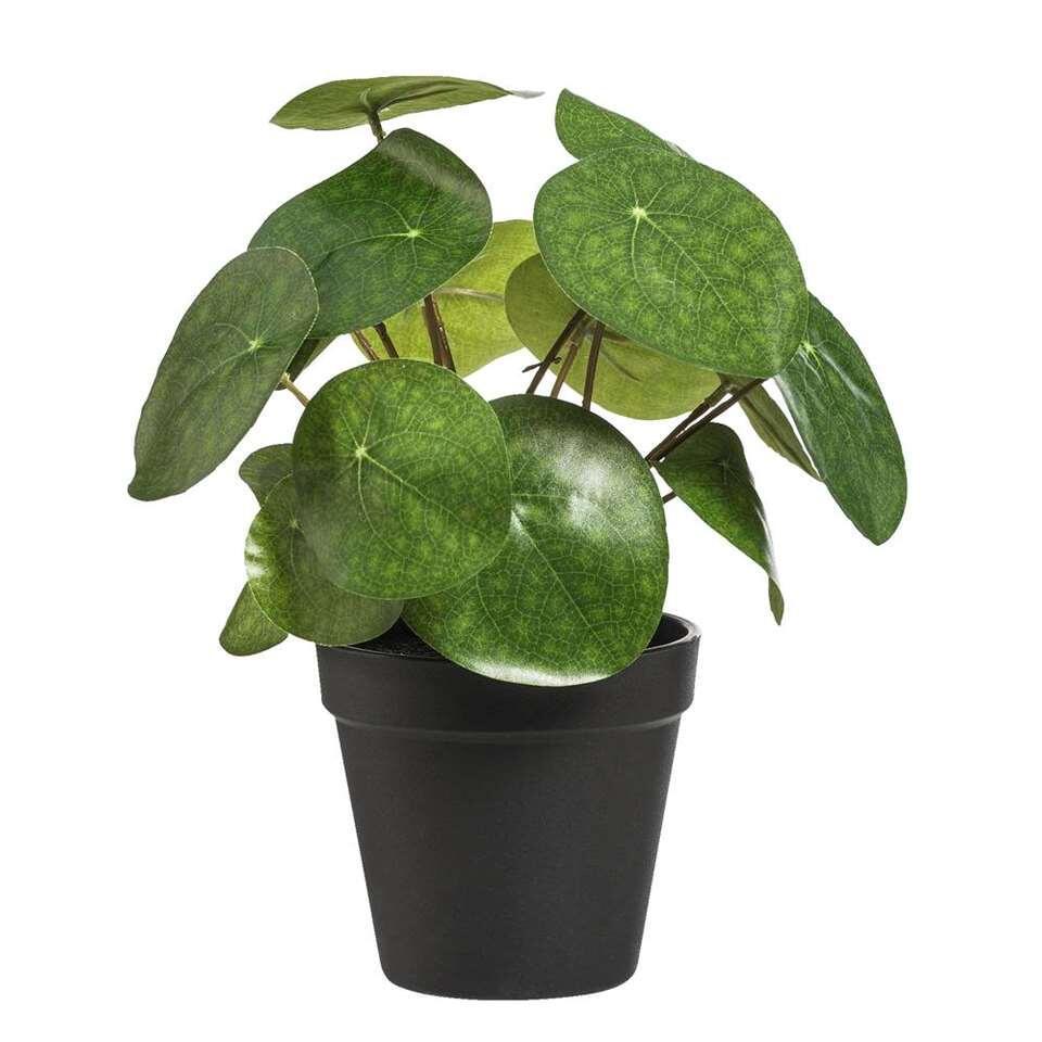 Pannenkoekenplant in pot is zwart en heeft een hoogte van 25 cm. Deze kunstplant is ideaal voor iedereen die geen groene vingers heeft. Zo heb je toch de gezelligheid van planten in huis zonder de zorg. Ideaal!