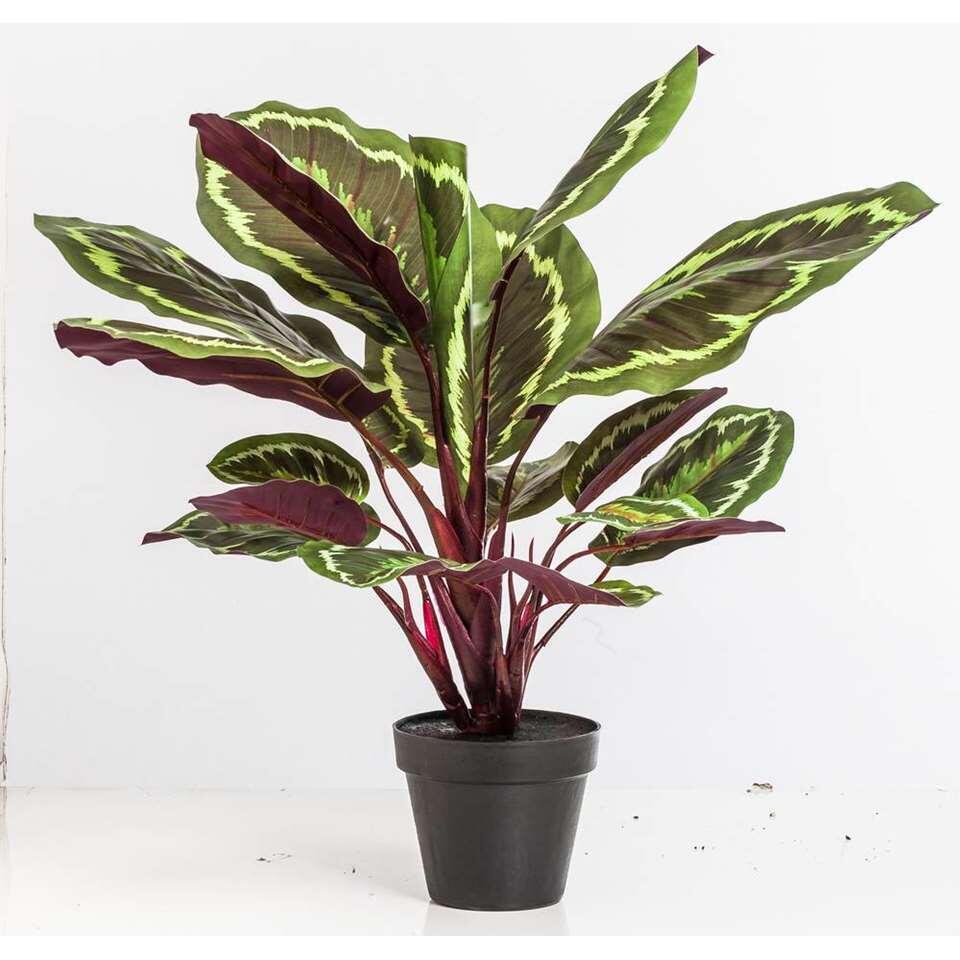 Calathea Jungle in pot – groen – 45 cm – Leen Bakker