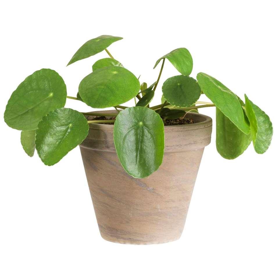 Pannenkoekplant in basalt pot - levende plant - Leen Bakker